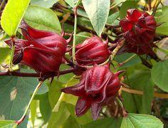 Mais qu'est ce que c'est ? Une fleur d'Hibiscus SABDARIFFA!! Le bissap est une boisson rafraichissante à base de fleurs d'hibiscus !! C'est très facile…