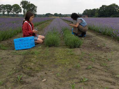 analyse lavendelolie |