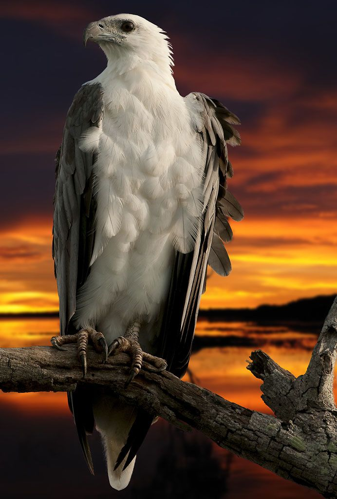 The White-bellied Sea Eagle (Haliaeetus leucogaster), also known as the White-breasted Sea Eagle, is a large diurnal bird of prey in the family Accipitridae. Originally described by Johann Friedrich Gmelin in 1788, it is closely related to Sanford's Sea Eagle of the Solomon Islands, and the two are considered a superspecies.