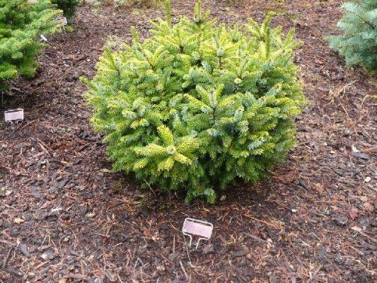 Picea <I>omorika</I> 'Tijn' Photo courtesy of Will Fletcher, WA, USA. | Photo by Will Fletcher