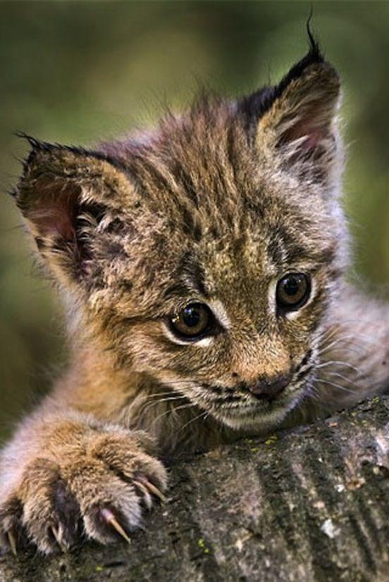 Baby Lynx Baby Lynx Big Cats Pinterest Photos