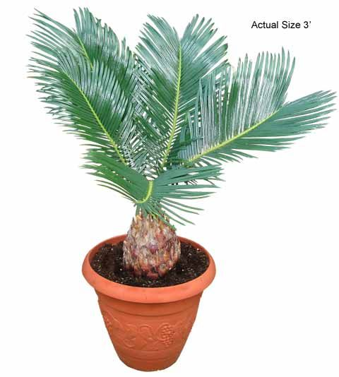 Sago Palm Tree Care Tips, Picture - Cycas revoluta    -New Bonsai Tree I got!-