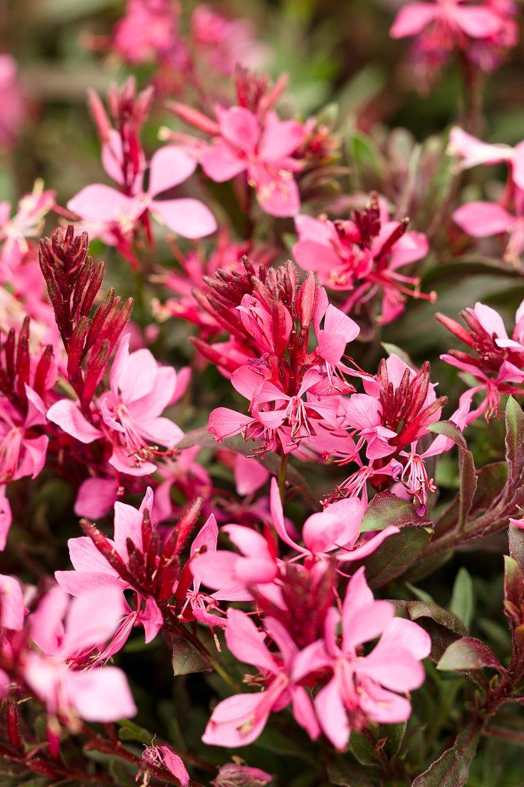 Karalee® Petite Pink  Butterfly Flower  Gaura Lindheimeri