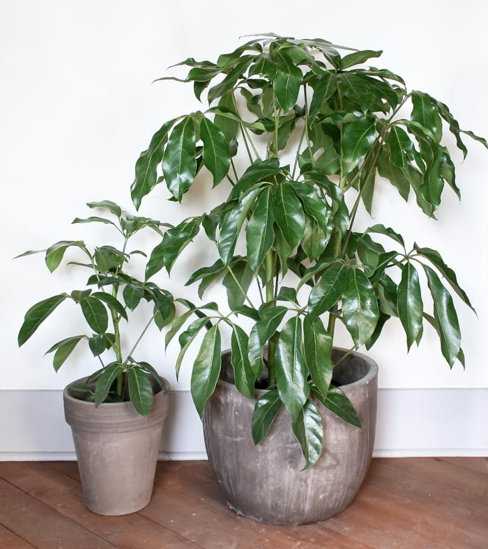 8 leaf plant for Indoor plant maintenance