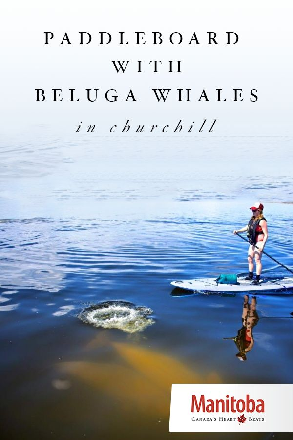 In Churchill, Manitoba, there's an abundance of ways to get to know beluga…