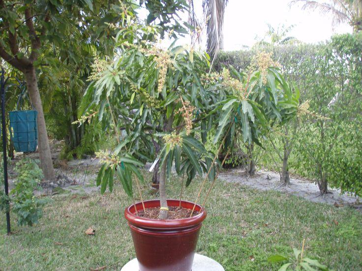 Glenn Mango Tree Full Of Flowers They Turned Into Lots