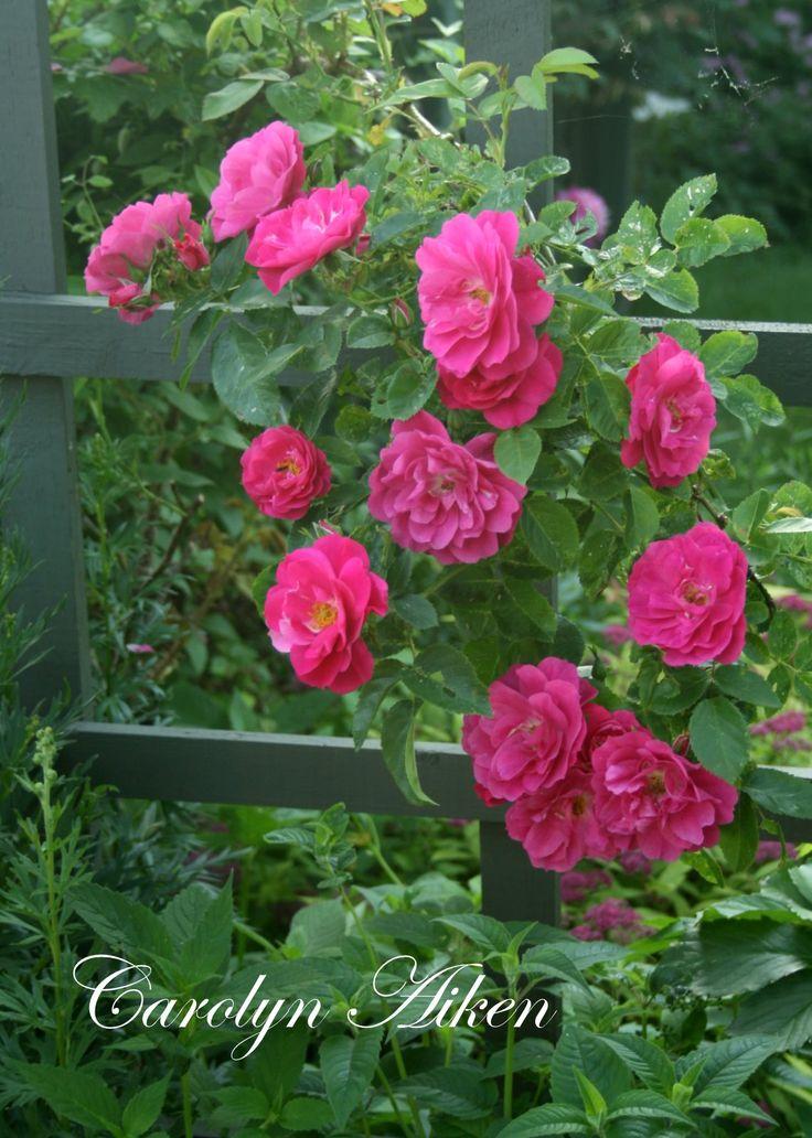 The hardy John Cabot rose peeking through the fence.