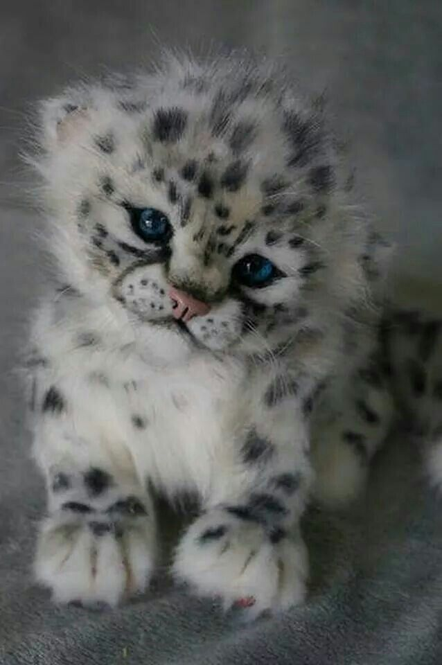 Baby Snow Leopard ...                                                                                                                                                                                 More