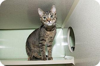 How cute is Copper! http://www.adoptapet.com/pet/12361911-new-york-new-york-kitten