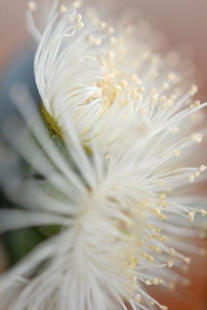 **Eucalyptus Cineria