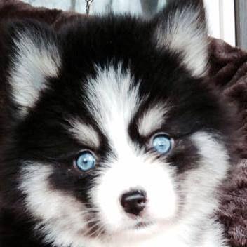 Pomsky Blue Eyes   Pomsky Puppy Training - Pomsky Pals