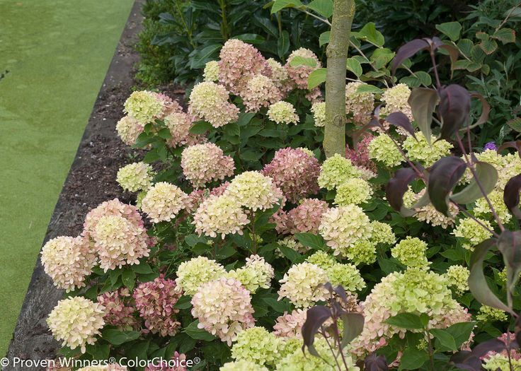 Image result for little lime hydrangea
