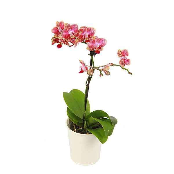 Medium Orchid - Dark Pink £24.99
