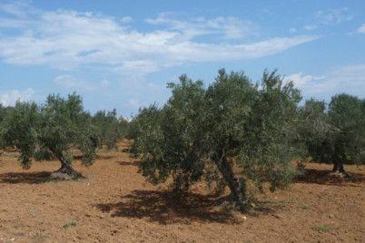 kw_olive_tree