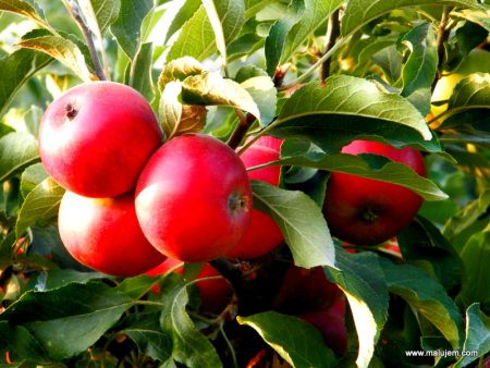Najlepšie jablká na svete. Recepty nájdete koncom septembra na webe :)