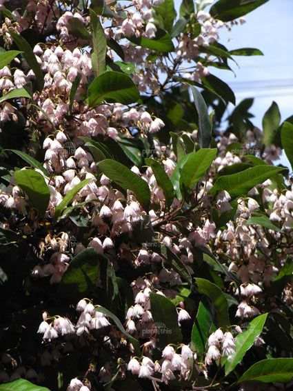 Elaeocarpus reticulatus, the Blueberry Ash, is a large shrub or tree which can grow to a height of 15 m. This is a hardy plant, and grows natively in eastern Australia under many conditions.
