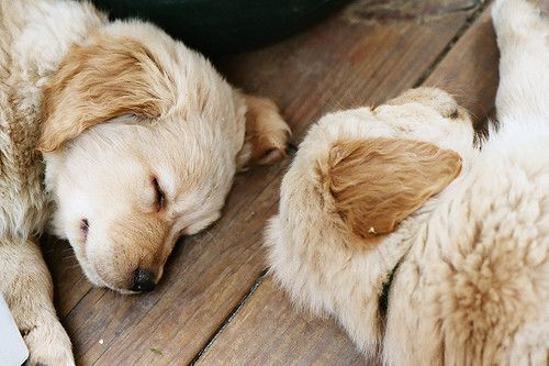 Sleeping PupsSleepy Time, Little Puppies, Baby Dogs, Naps Time, Dogs Pictures, Sleep Baby, Labs Puppies, Fluffy Puppies, Golden Retriever