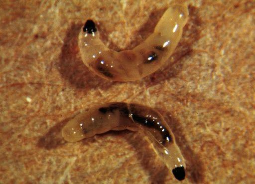 3 best Gnat Trap for Fungus Gnat Larvae ~ Best Homemade Gnat