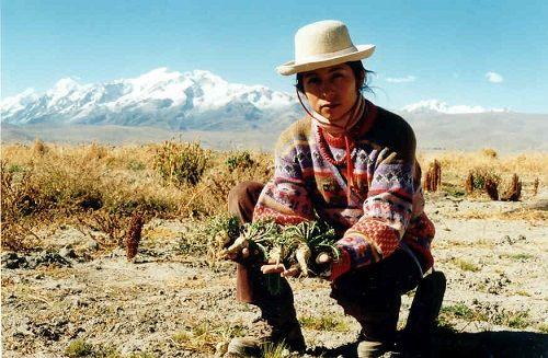 Naturalna medycyna - Maca - super żywność Inków