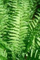 Online Plant Nursery - Silvery Glade Fern Plant, $4.99 (http://www.onlineplantnursery.com/silvery-glade-fern/)