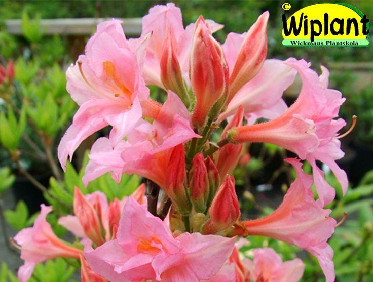 Rhododendron x Rustica Mixture 'Ruususen Uni', Azalea. Höjd: 0,5-0,8 m. Zon III.