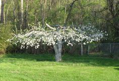 An Apple Tree Returns to Its Former Glory - All About Apples Blog - MOTHER EARTH NEWS