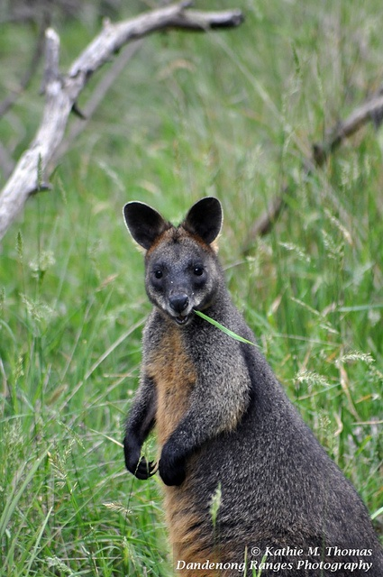 This is not a kangaroo but a swamp wallaby. Wallabies are shorter and more thickset.  They're quite cute too.