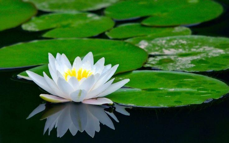 лотос, водяная лилия, цветок, пруд