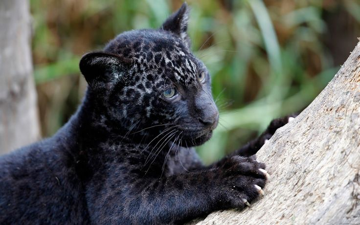 animal panthers cubs - photo #15