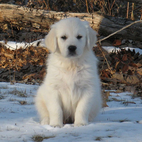 Goldenridge Kennels Golden Retriever Puppies for Sale in