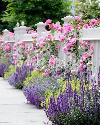 Parade konténeres futórózsa | Sweet Garden