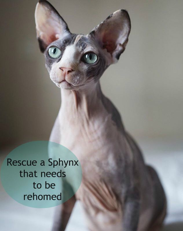 Hairless Cat Rescues Near