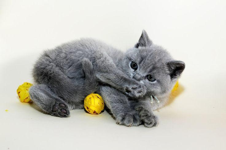 gatinho fofo cinzento Vetor