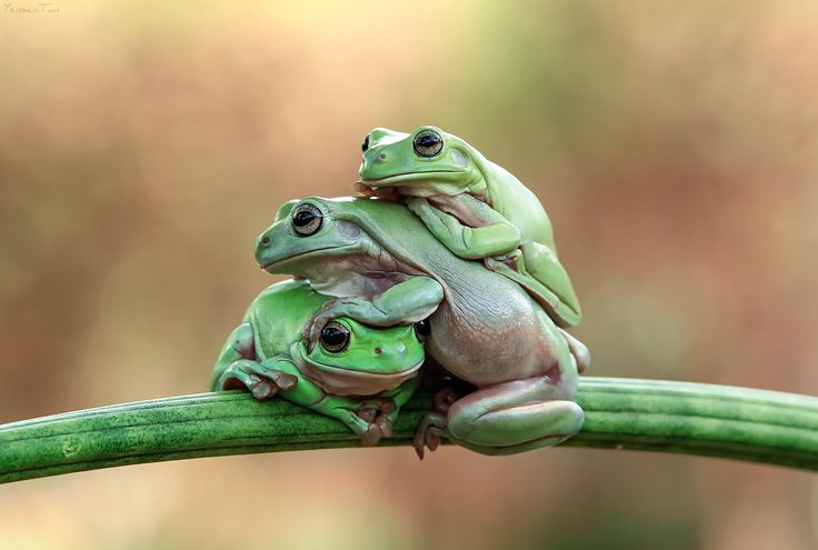 I can't breath - Dumpy white tree frog