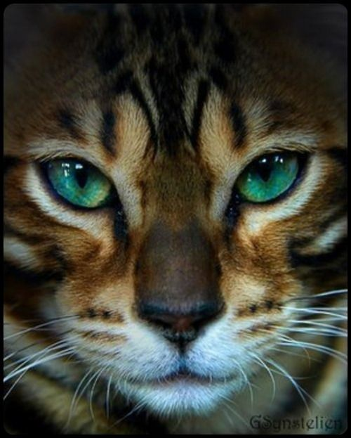 by G.Stystelien.....I don't know what kind of cat this is but it's beautiful