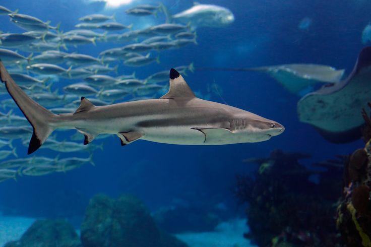 Zvířata tapeta č.: 82393 | Lisabonská žralok, ryby, podvodní ...