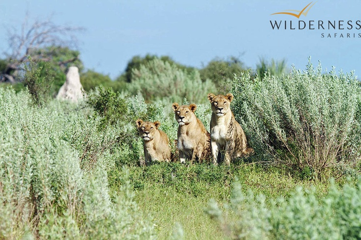 Vumbura Plains - stalking ground in the wild sage thickets. #Safari #Africa #Botswana #WildernessSafaris
