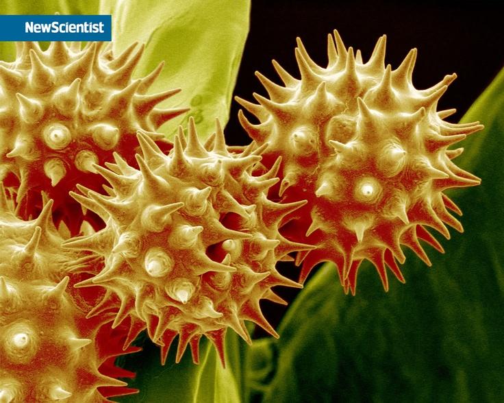 Bee Pollen under a microscope