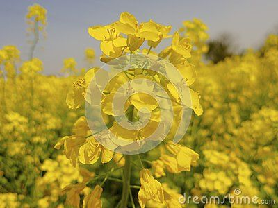 My photo of a close up of flowers in a  yellow rapeseed flower field. Photo can be purchased from: http://www.dreamstime.com/royalty-free-stock-photography-yellow-rapeseed-flower-field-full-flowers-image40833027