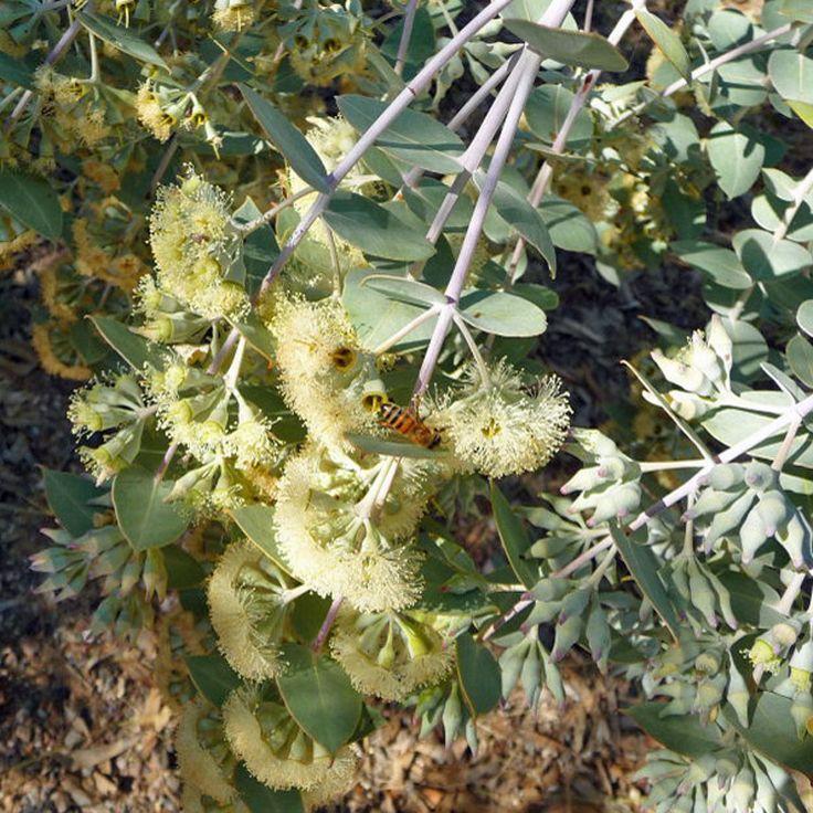 Eucalyptus Gillii 'Silver Mallee'