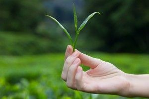 Assam Tee Ernte
