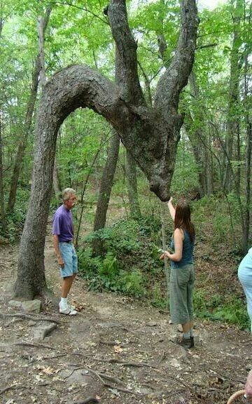 Dragon Tree , guardian of the Forest