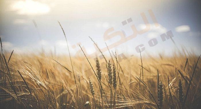 تفسير حلم رؤية القمح في المنام لابن سيرين وابن شاهين ودلالة رؤية سنابل القمح في الحلم بشكل مفصل القمح له الكثير من التأويلات والتي تختلف من شخص لآخر لذلك سوف