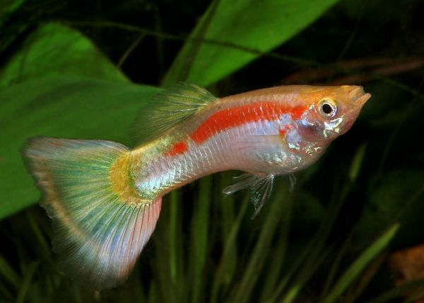 1000 images about guppy on pinterest yellow lace live for Guppy fish care