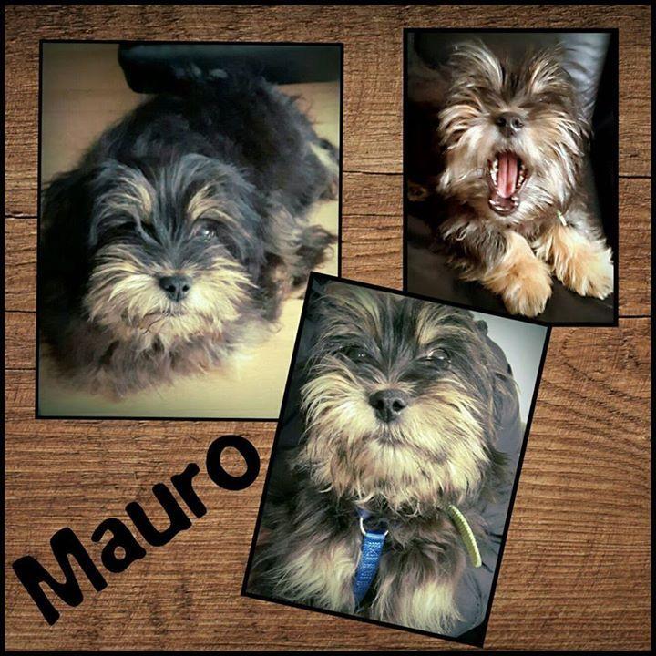 Der kleine Mauro ist gut auf seiner tollen Pflegestelle in Hochheim angekommen.  Er ist am 15.19.2016 geboren und hat eine Schulterhöhe von 38cm. Der süße Schatz ist lieb verträglich verschmust und geht schon gut an der Leine. Mauro ist geimpft und gechipt und wird nur nach Vorkontrolle und Schutzvertrag vermittelt.  Unsere Anzeigen sind tagesaktuell. Anfragen bitte NUR telefonisch Mo-Di u. Do-Sa unter 49 162 247 15 87 v. 10-13 u. 15-18h | Mo-Do u. Sa unter 49 1514 1671913 v. 10-13 u. 15-18h…