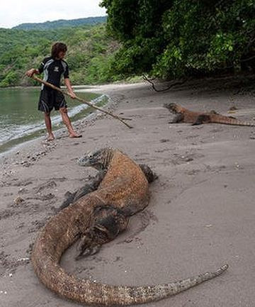 The Komodo dragon (Varanus komodoensis) is a lizard species that is found on the islands (particularly the Komodo Island)