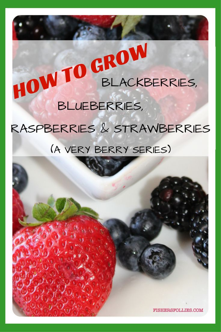 best 25 blueberry fertilizer ideas on pinterest blueberry plant