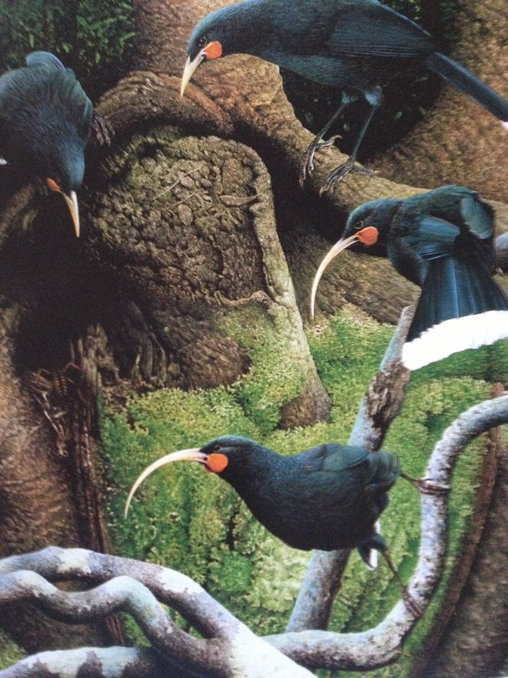 The Huia - the royal bird of the Maori. Last official sighting 1907. (Painting by Paul Martinson in 'New Zealand Extinct Birds' by Brian Gill & Paul Martinson