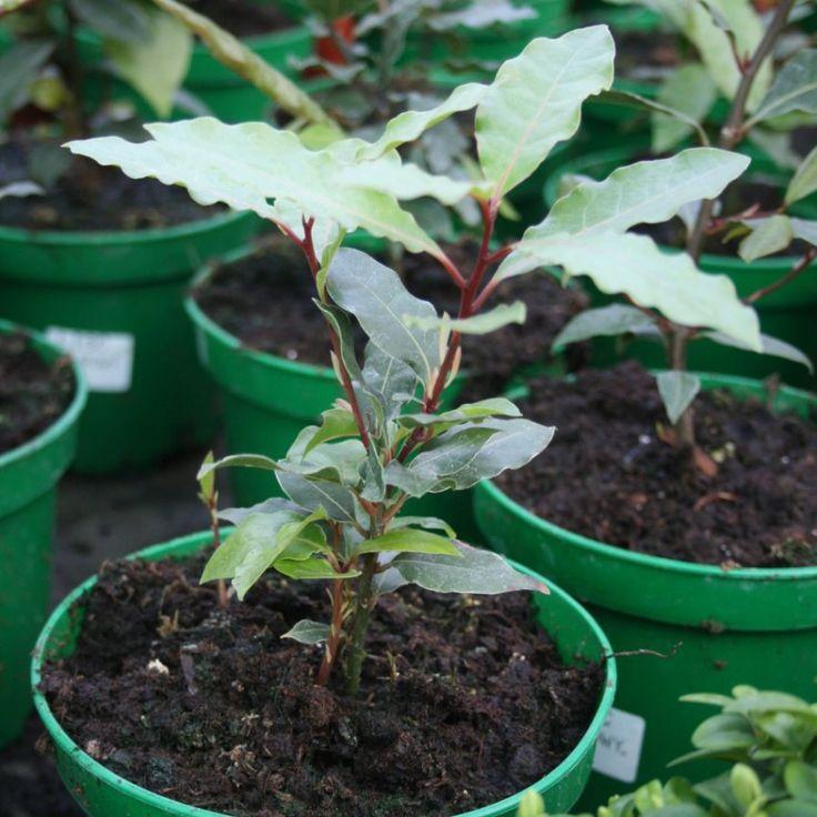 Bobkový list (Laurus nobilis)