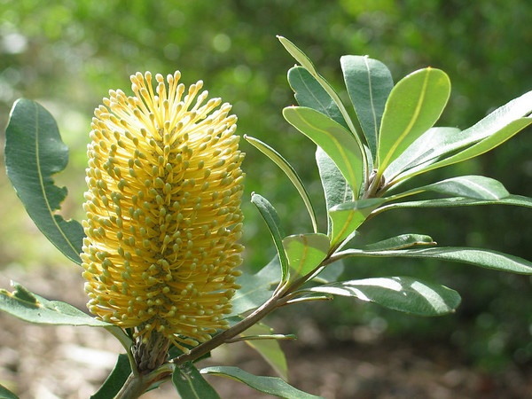 Banksia integrifolia - Flower